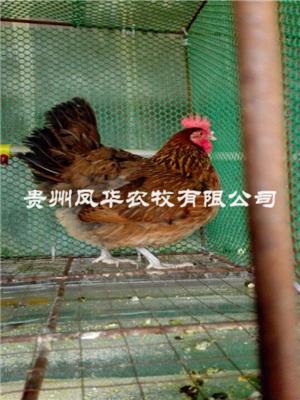 貴陽土雞養殖