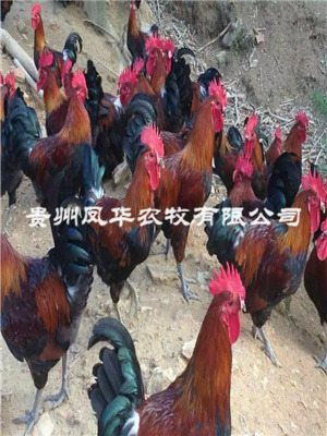 贵州土鸡批发