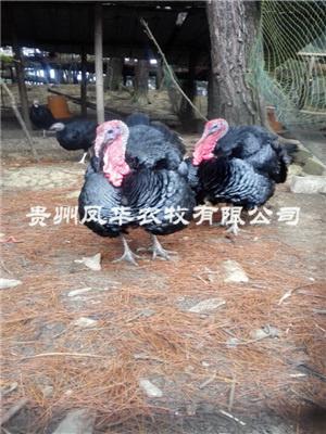 貴州火雞批發