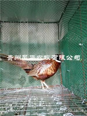 贵州野鸡养殖