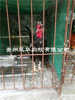 貴妃雞養殖