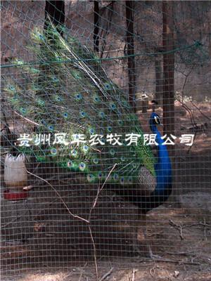 貴州孔雀養殖技術