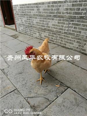 三黃雞脫溫