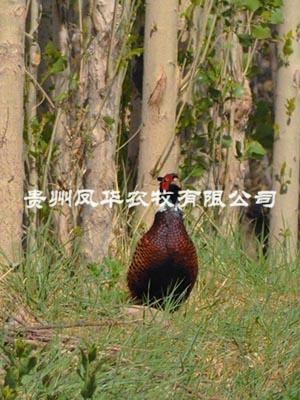 七彩山雞養殖技術資料