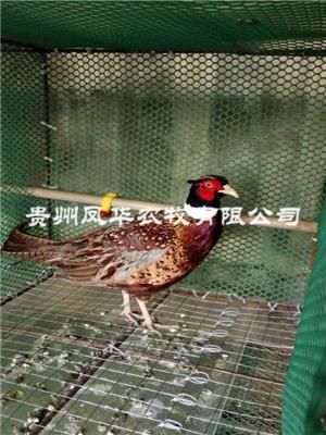 野鸡养殖技术资料