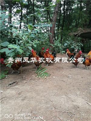 林下养鸡技术培训
