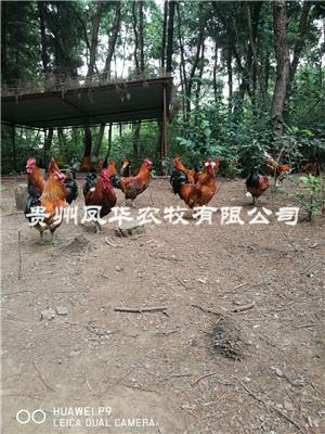 林下養雞技術
