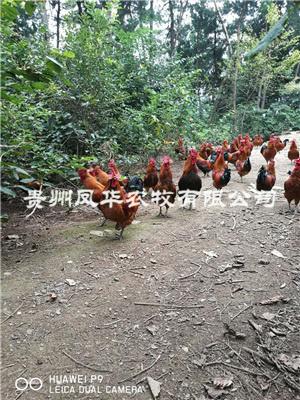 鸡散养技术培训