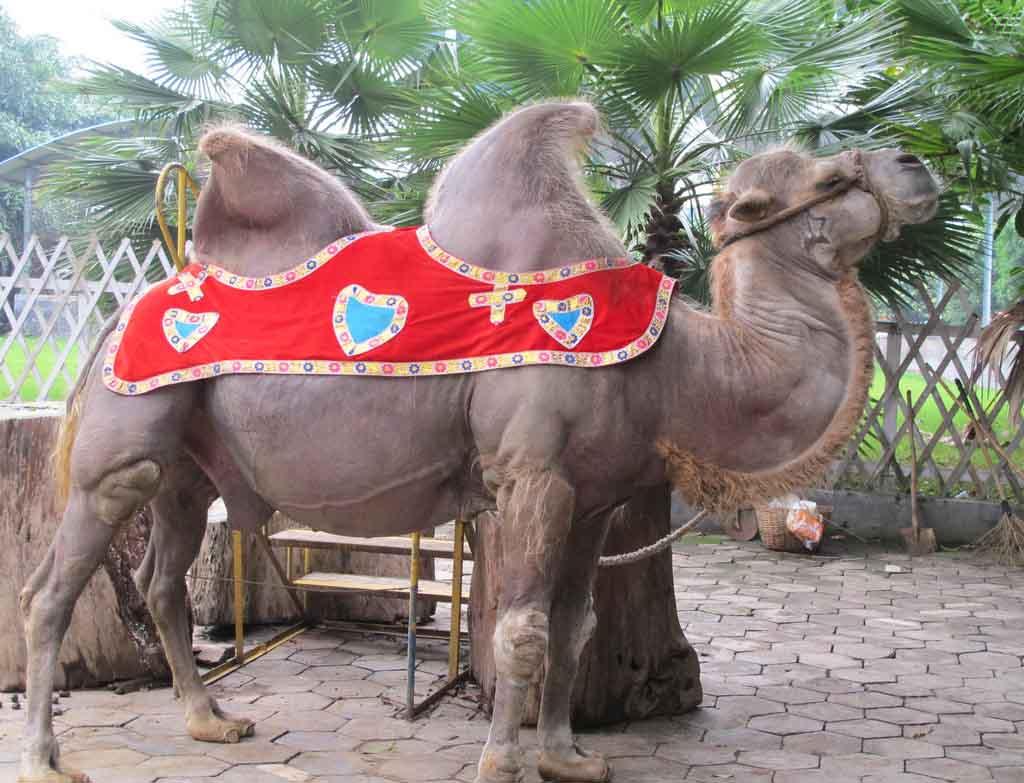 【图文】骆驼奶知识_骆驼奶成分