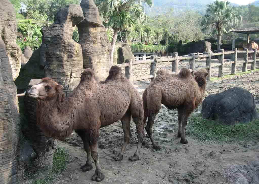 旅游骆驼观光园