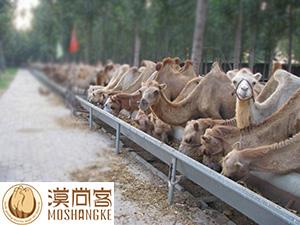 【图文】骆驼蟠尾线虫病的防治方法是什么_骆驼得口蹄疫的原因是什么