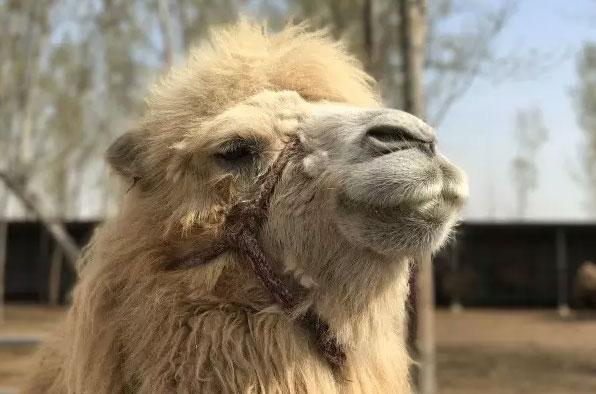 骆驼哪里买