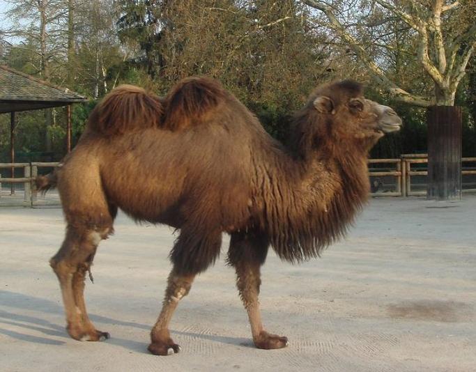 骆驼多少钱一峰