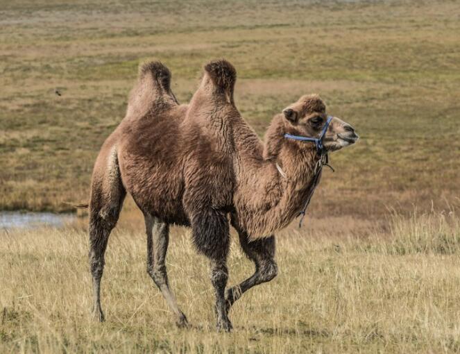 骆驼生物实验