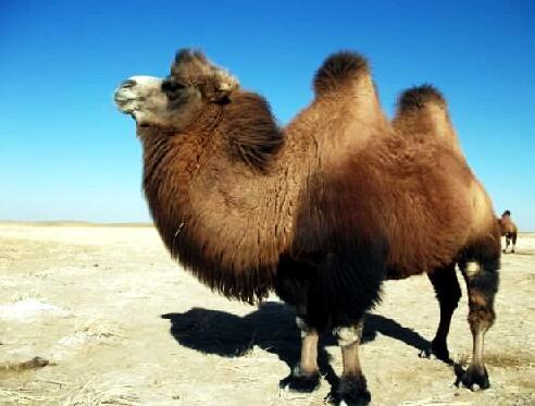 骆驼多少钱一只
