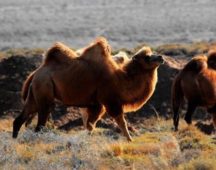 哪里有卖骆驼的