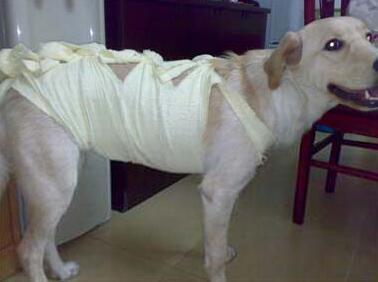 狗狗做绝育手术