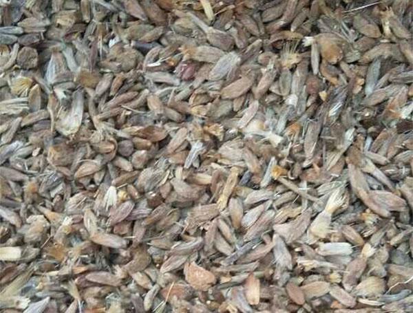 药材种子——白术种子