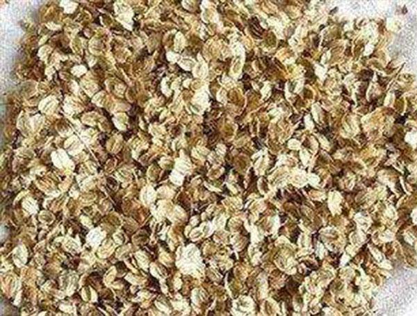 药材种子——白芷种子