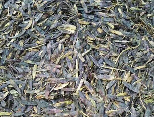 药材种子——板蓝根种子