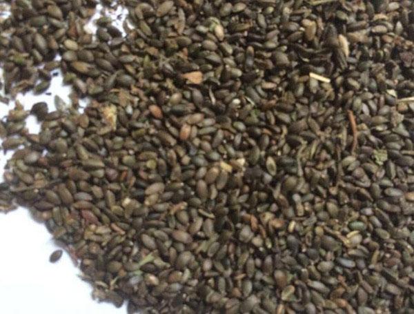 药材种子――丹参种子