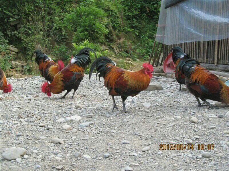 贵州土鸡养殖