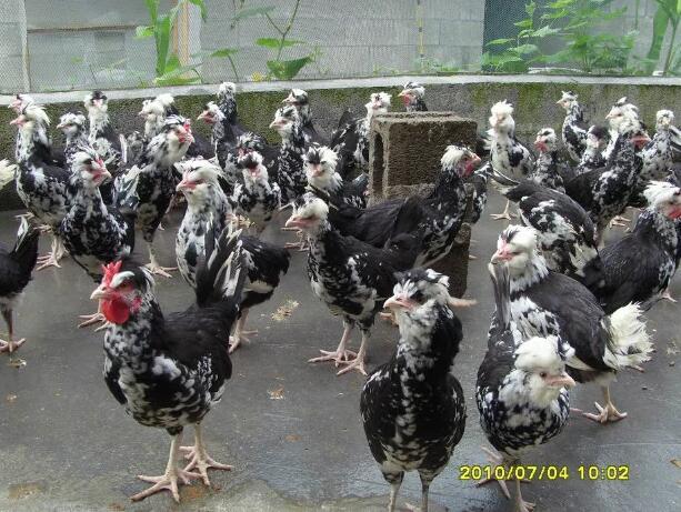 贵州贵妃鸡养殖