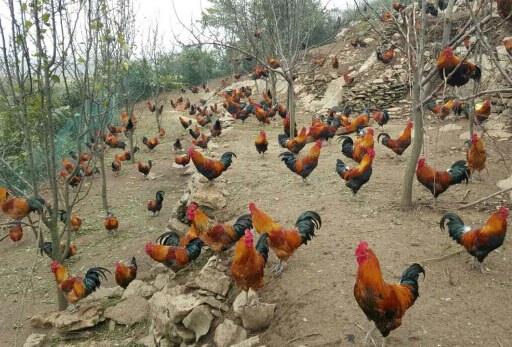 贵州土鸡苗供应商