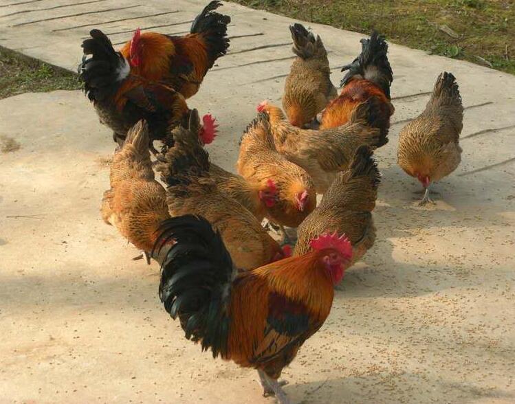 贵阳土鸡苗价格