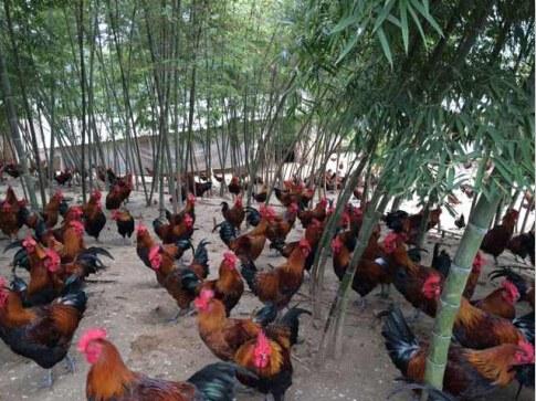 贵州本地纯土鸡苗