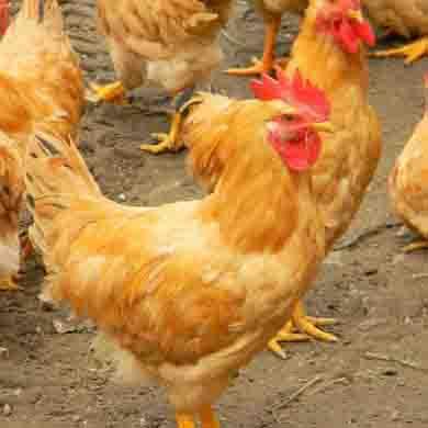 快大黄鸡养殖