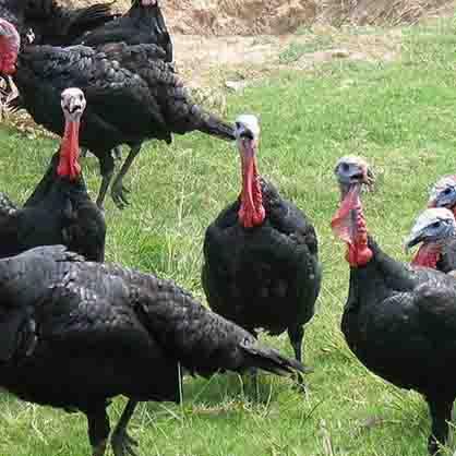 火鸡养殖场