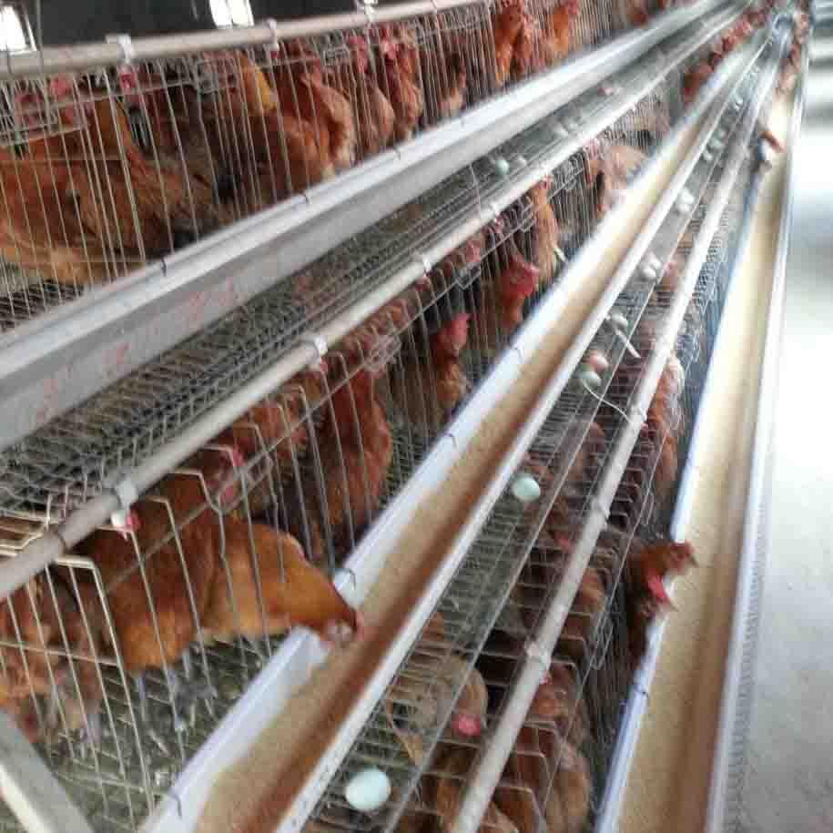 贵州种鸡场
