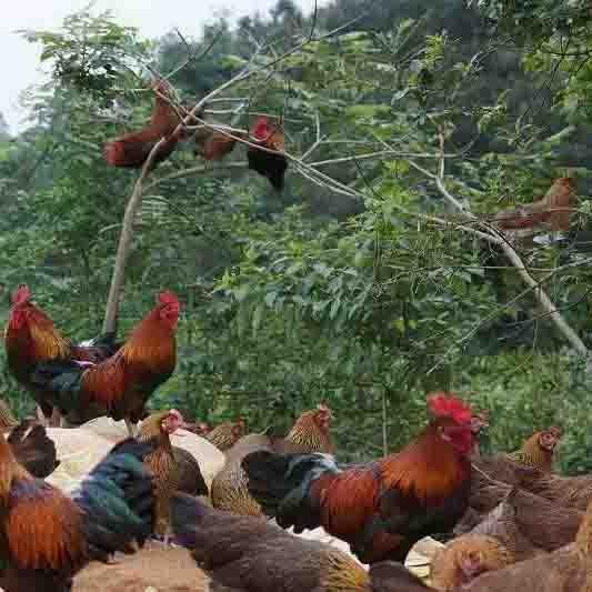 贵州散养土鸡