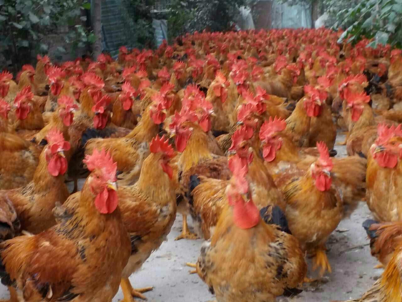 贵州882鸡苗