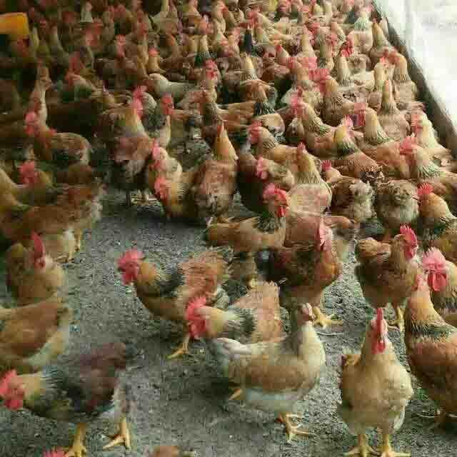 贵州K99鸡苗