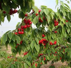 贵州樱桃苗