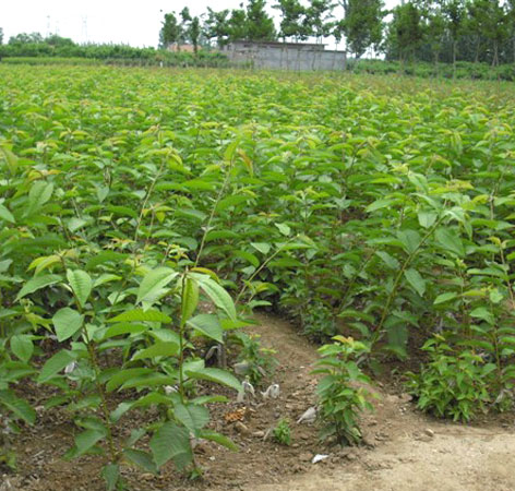 贵州樱桃苗出售