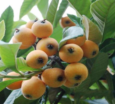 贵州枇杷树出售