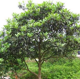贵州枇杷大树