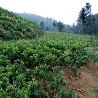 贵州杨梅树苗木