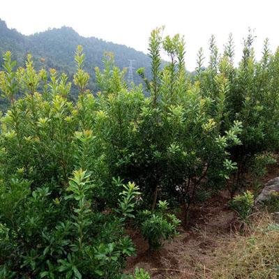 杨梅树苗木