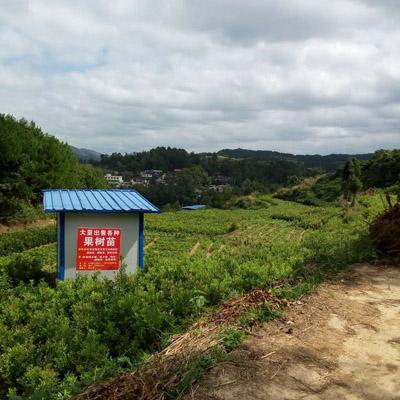 贵州杨梅树