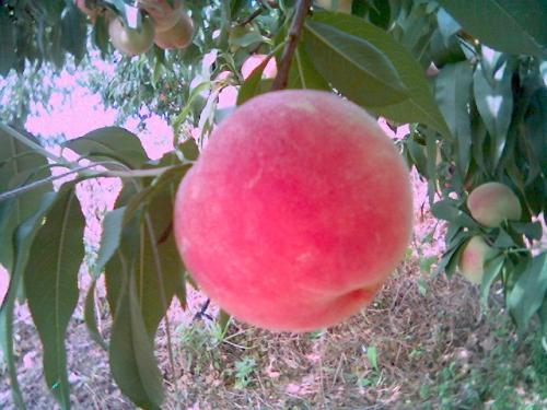 贵州艳红桃苗