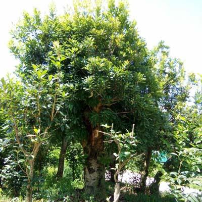 安顺东魁杨梅大树