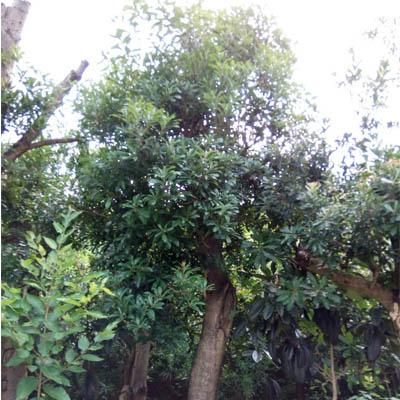 贵州东魁杨梅大树