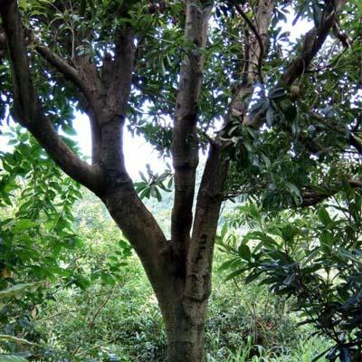 贵州荸荠杨梅树