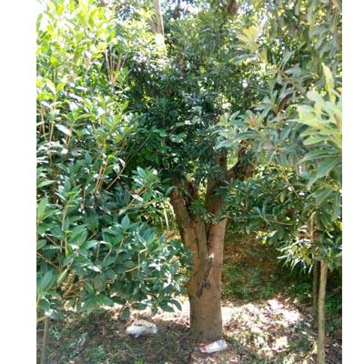 贵阳荸荠杨梅树