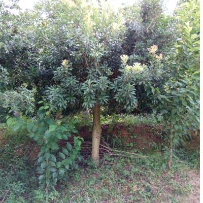 黔南荸荠杨梅大树