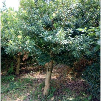 贵州荸荠杨梅大树